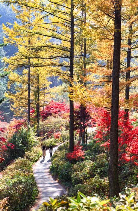 Pameran Krisan Taman Keheningan Pagi (아침고요수목원 국화전시회)