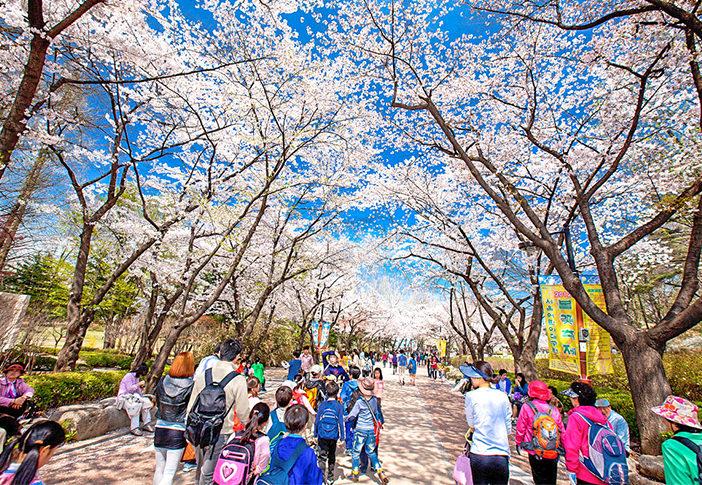 Lokasi Jalan Untuk Menikmati Bunga Musim Semi yang Bermekaran di Korea