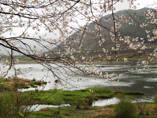 Festival Bunga Ceri Tepi Sungai Seomjingang