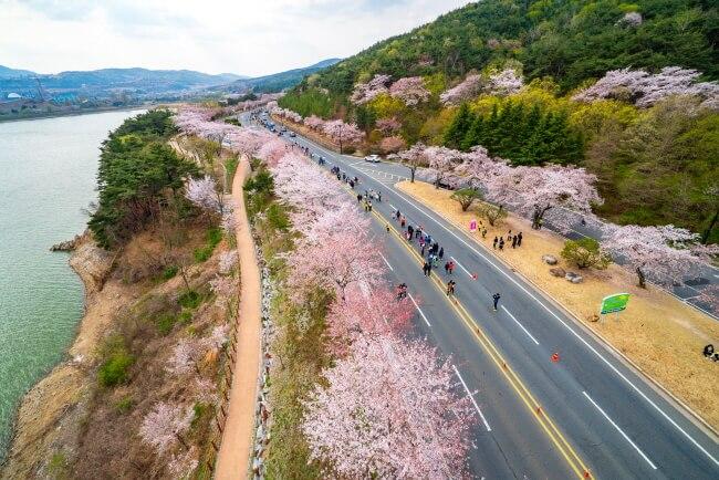 Berlari bersama Bunga Sakura di Maraton Bunga Sakura Gyeongju!