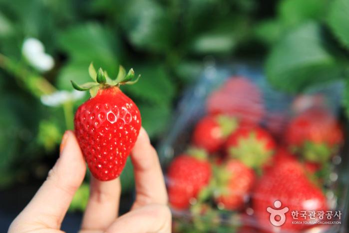Festival Strawberry Yangpyeong