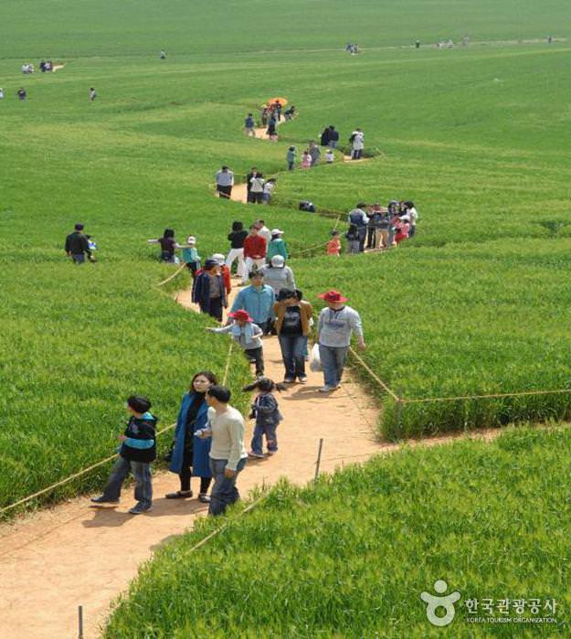 Festival Kebun Barley Hijau Gochang