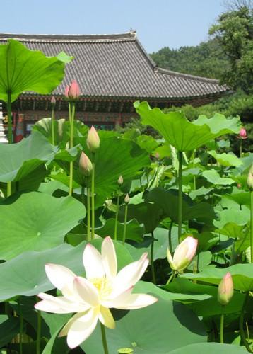 Festival Budaya Bunga Lotus Seoul