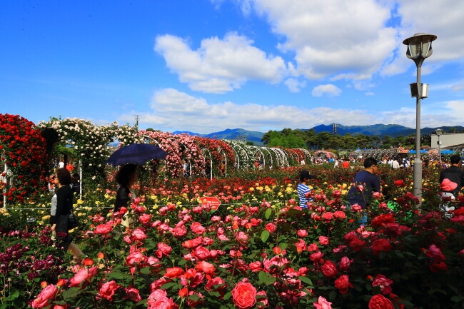 Harumnya Mawar Mengisi Festival Mawar Internasional Gokseong