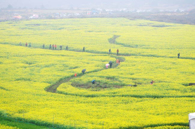 Festival Bunga Canola Jeju Dimulai 7 April