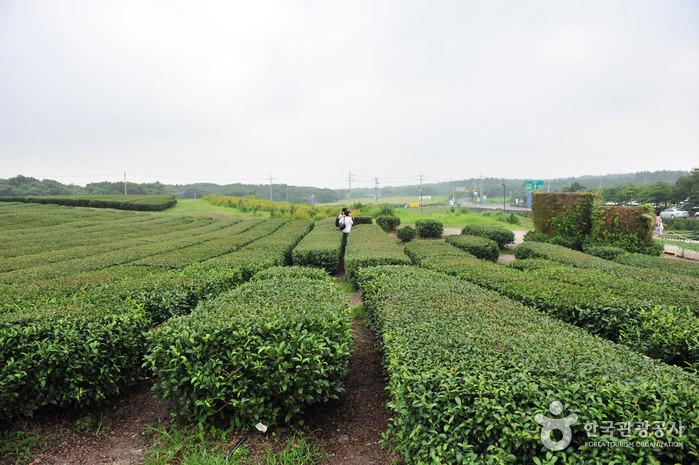 Kebun Teh Seogwang