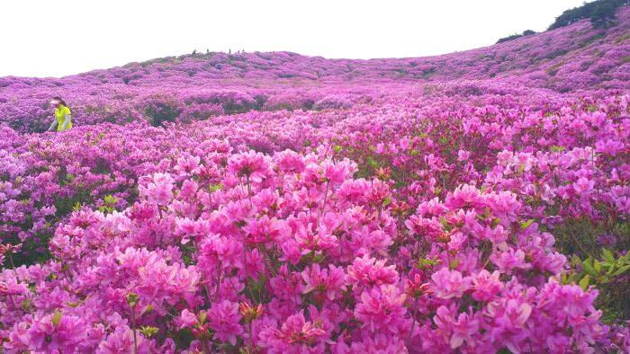 Festival Bunga Azalea Hapcheon Hwangmaesan