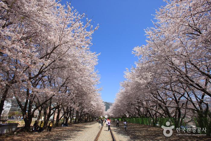 Statiun Gyeonghwa (Jalan Cherry Blossom)
