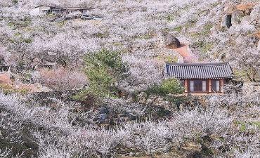 Photo_Keindahan Musim Semi di Jeollanam-do