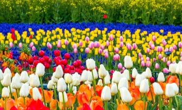 Menikmati Musim Semi dengan Mengunjungi Festival Tulip!