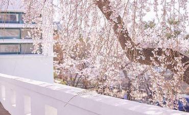 Jalur Bunga Musim Semi di Seoul