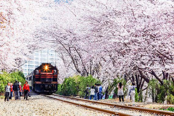 Romantisme di Festival Jinhae Gunhangje, Perjalanan Musim Semi Sakura