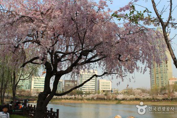 Festival Cherry Blossom di Danau Seokchon
