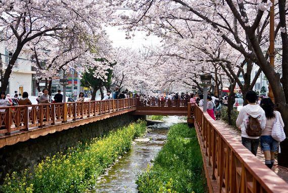 Nikmati Mekarnya Bunga Sakura di Korea!
