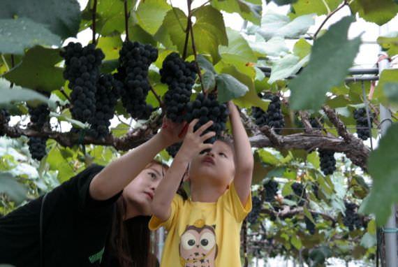 Festival Anggur Yeongdong