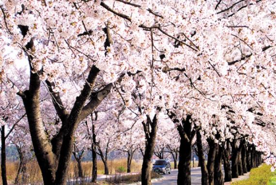 Festival Cherry Blossom Gyeongpo