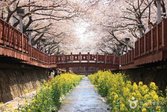 Sungai Kecil Yeojwacheon  (Jalan Bunga pohon Cherry) di Jinhae
