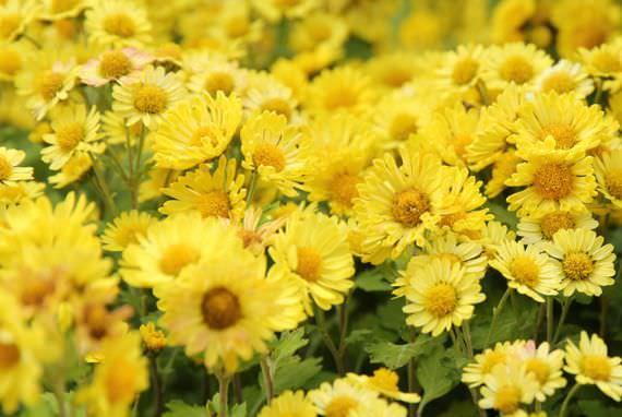 Festival Seosan Chrysanthemum