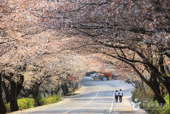 Simni (10ri) Cherry Blossom Road