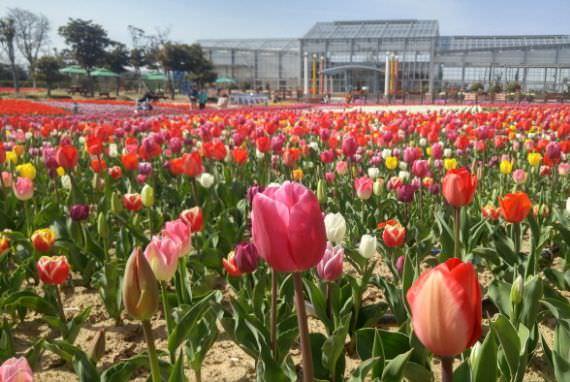 Festival Bunga Tulip Sinan