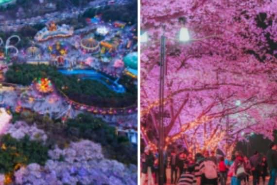 Festival Daegu E-world Starlight Cherry Blossom Dibuka 24 Maret