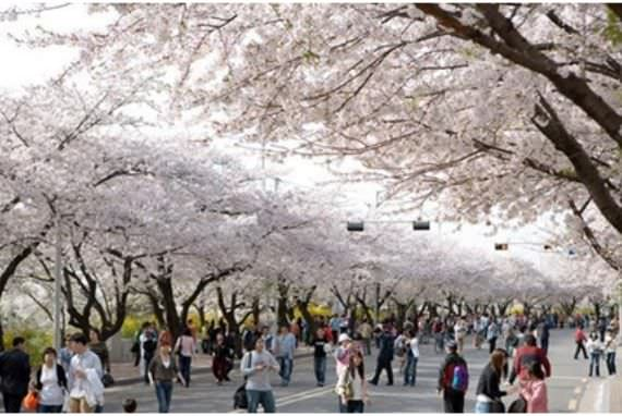 Tujuan Wisata Paling Indah di Korea ketika Musim Semi