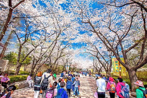 Nikmati Jalan Bunga Bermekaran Musim Semi di Seoul