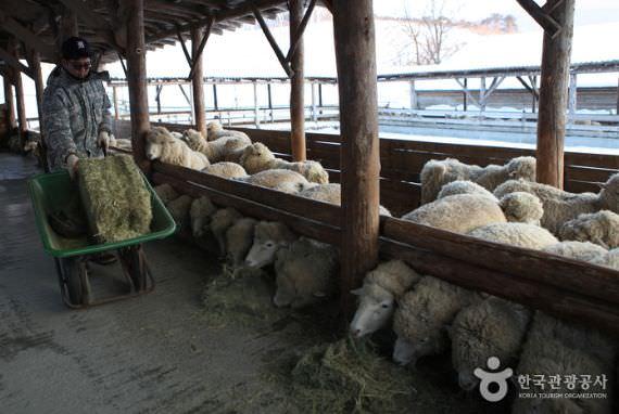 Peternakan Domba Daegwallyeong