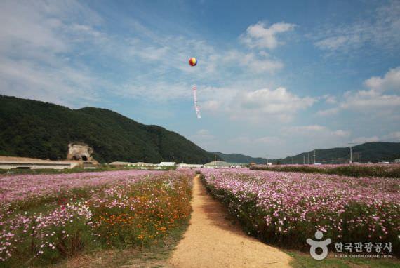 Festival Bunga Kosmos dan Gandum Bukcheon