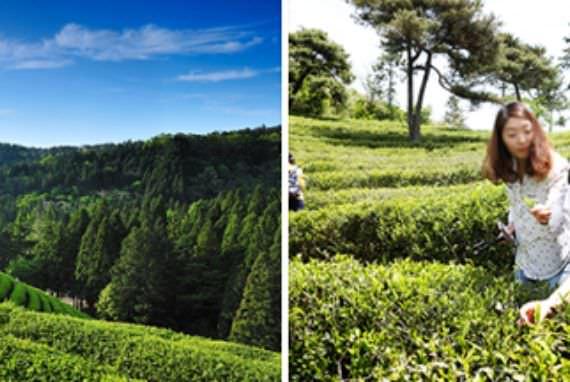 Acara Teh Hijau Utama Korea, Boseong Green Tea Festival akan Dimulai Pada 3 Mei!