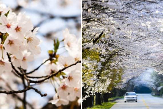 Mekarnya Cherry Blossom 2015
