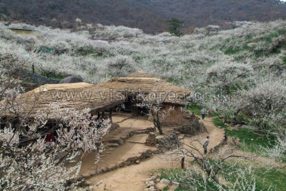 Japanese Apricot Farm